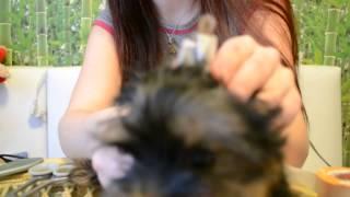 Как клеить ушки йорку, как поставить ушки(Видео по частому запросу, как подклеивать ушки Йорку, чтобы они встали Моя страница в контакте, обращайтесь,..., 2014-03-08T21:09:50.000Z)