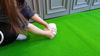 Amazing VIP Micro Thumbelina White Pomeranian Puppy For Sale