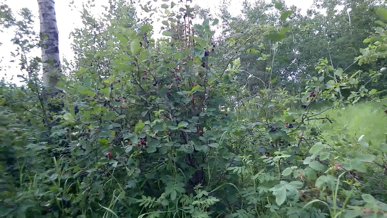 Picking Saskatoon Berries In Fort Vermilion Canada Youtube