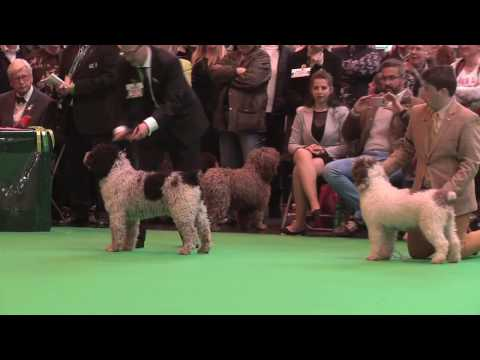 Crufts 2017 - Spanish Water Dog - Best of Breed - First CC winners