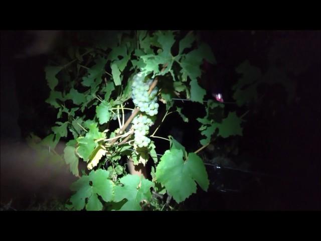 Vendanges nocturnes 2016