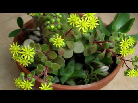 Вопрос: Аихризон – какое происхождение названия цветка, значение, язык?