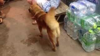 【世界の旅タイ編】 のんびり過ごせるタイのパーイの犬の映像です。