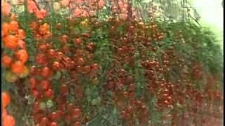 La nueva industria de produccion de tomates en invernadero thumbnail