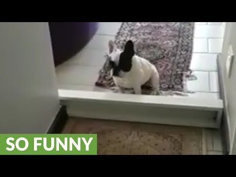French Bulldog thwarted by tiny barrier