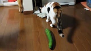 食事中の猫のうしろにキュウリを置いたら…