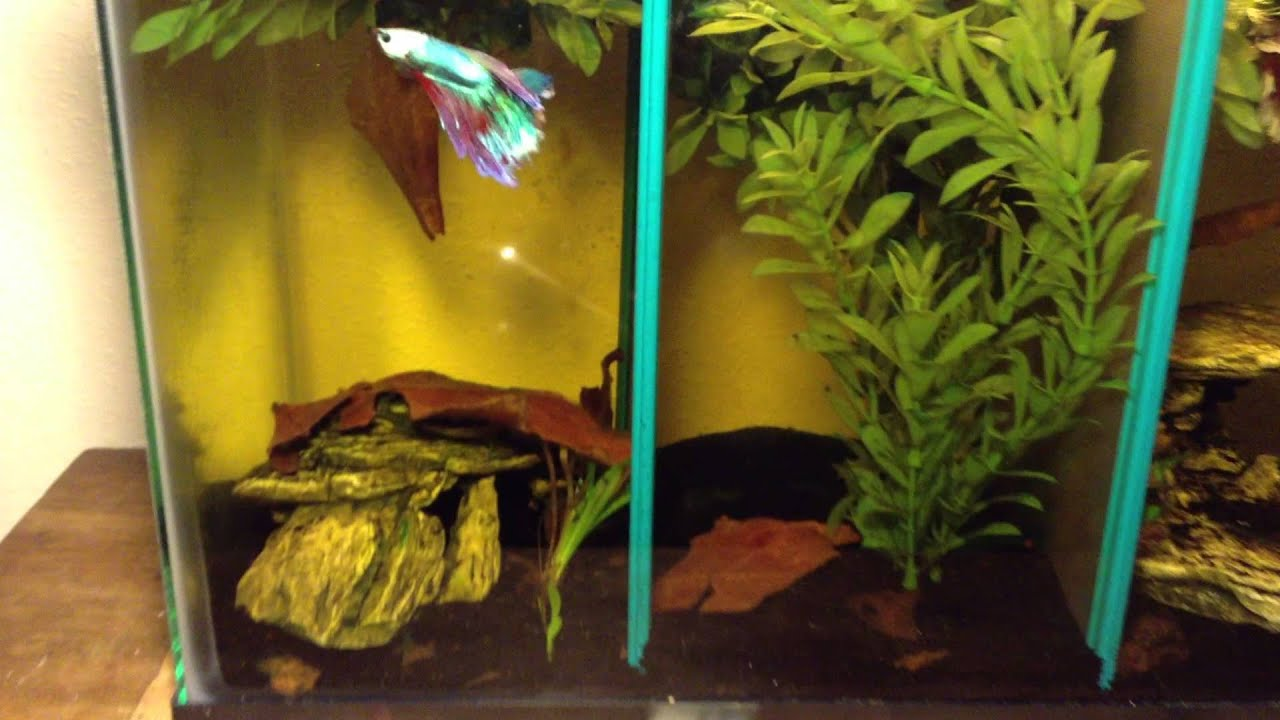 10 5 gallon divided betta halfmoon plakat dumbo show for Divided fish tank
