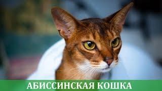 Абиссинская кошка описание породы