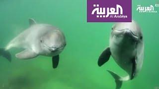 حملة دي كابريو لحماية خنزير البحر