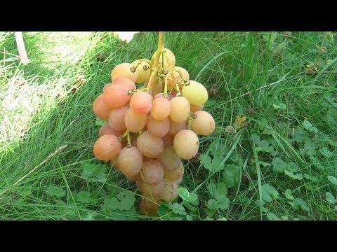 Виноград Анюта на 19 сентября 2016 г