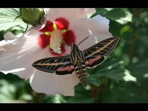 Saving Rose Of Sharon Seeds Hibiscus Syriacus Aka Rose Mallow