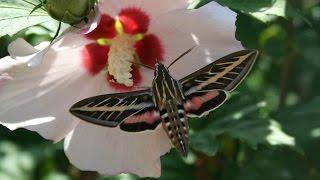 Saving Rose of Sharon Seeds. Hibiscus syriacus. AKA Rose Mallow.