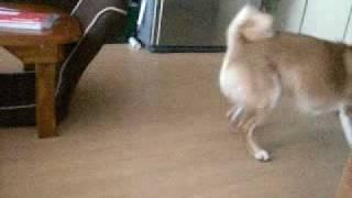 とにかく走り回る小太郎です。 柴犬小太郎の肉球通信 http://ameblo.jp/...