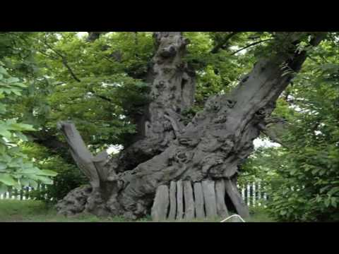 10 Of The Oldest Living Trees In The World - Top10List