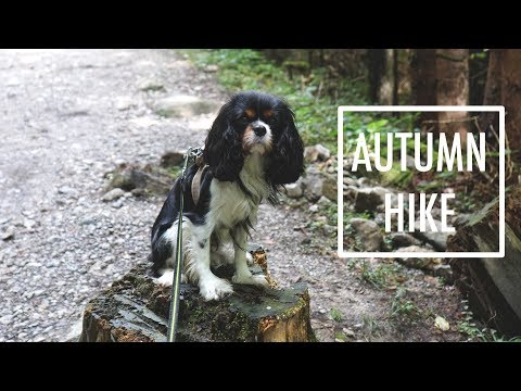 Autumn Hike with Dog | Cavalier King Charles Spaniel