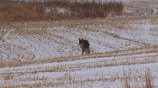 North Dakota Coyote Hunting:  Late January success