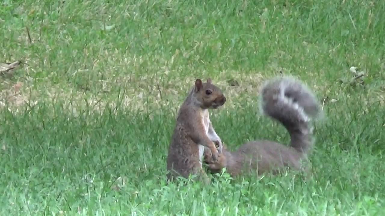 2 Squirrels Playing Fighting Loring Park Minneapolis
