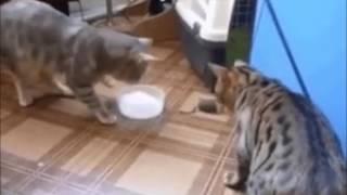 Коты евреи