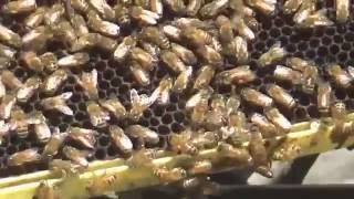 Feeding a captured swarm and releasing the queen into the hive