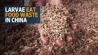 In China, maggots finish plates, and food waste