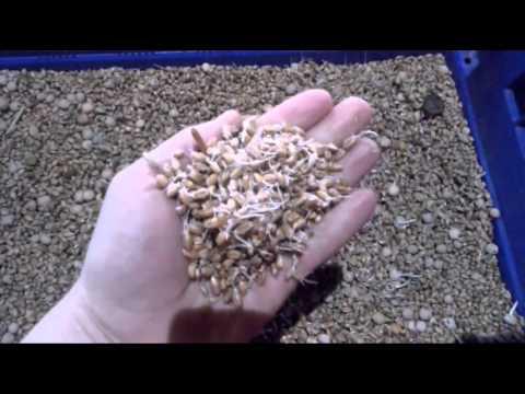 Как прорастить пшеницу в домашних условиях