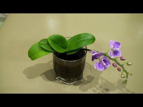 Как пересадить мини орхидею в домашних условиях пошагово
