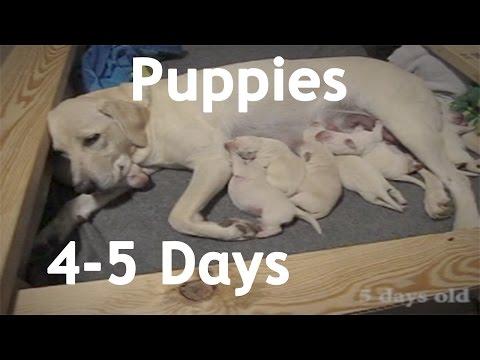 Lab Puppies 4-5 Days Old