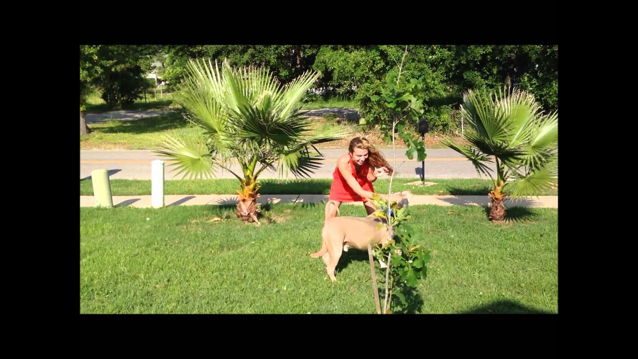 Bully XXL pitbulls, ManMade KENNELS: XL Pitbulls,, 8 month old pitbull,  huge pitbull  wmv by ManMade Kennels
