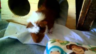 My guinea pigs, awake, active, and playful!