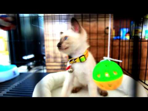 Siamese cat - Moon Diamond play ball bell