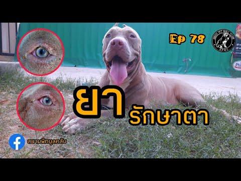 ยารักษาตาสุนัข  ยาหยอดตาสุนัข  สุนัขตาแดง  Ep78  สยามพิทบูลคลับ  siampitbullclub