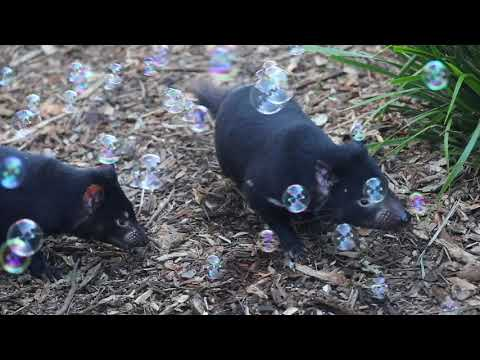 TASMANIAN DEVIL BUBBLE FUN! | The Australian Reptile Park