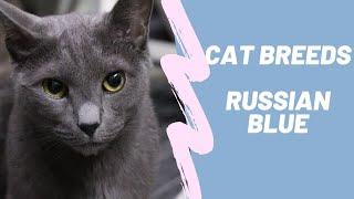 RUSSIAN BLUE  CAT BREEDS