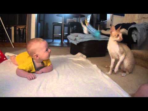 Cornish rex entertains baby.