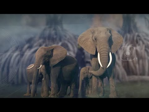Can China's ban on ivory trade save elephants?