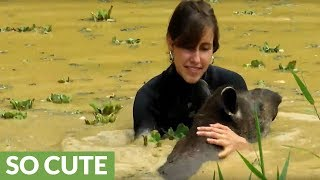 Rescued tapir loves to swim with caretaker
