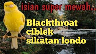 Download Mp3 Masteran Kenari Isian Super Mewah!!! Blackthroat,ciblek Dan Sikatan Londo