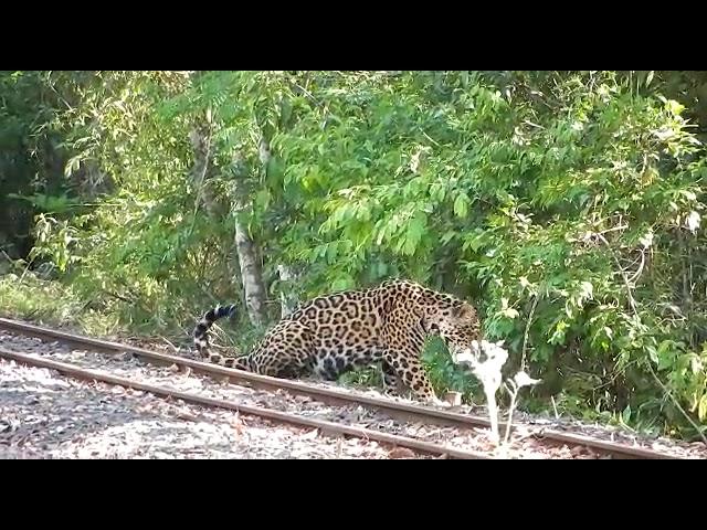 Captaron a un yaguareté al costado de la vía del tren en Cataratas