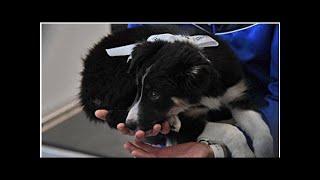 Талисман аэропорта «Симферополь» собака Алиса получила фанатов