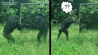 Female chimpanzee perplexed by mirror properties | une femelle chimpanzé perplexe devant son reflet