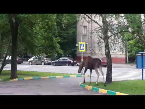 Лось в Новогиреево (Москва)