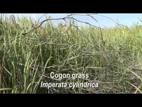 How to identify Cogon grass Imperata cylindrica