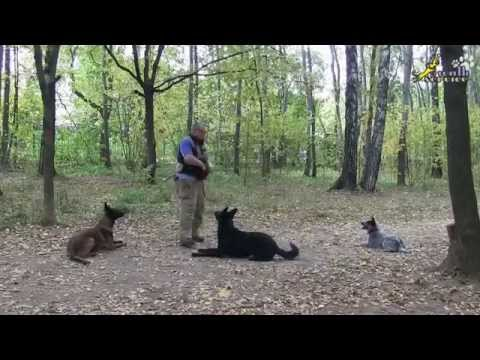 Training a German Shepherd, a Malinois, a Cattle Dog | Teaching tricks