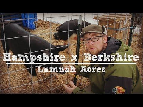 Hampshire x Berkshire Pigs with Lumnah Acres