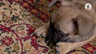 видео Отзывы о породе — французский бульдог