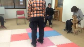 セラピードッグ候補 海音(みおん)の訓練風景①       2015/2/21