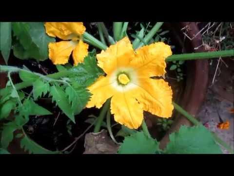 زراعة الاسطح 76 - Fleur mâle et fleur femelle de la courgette - YouTube