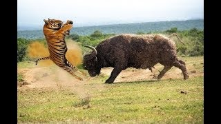 Buffalo vs Tiger real Fight to Death - Wild Animals Attack