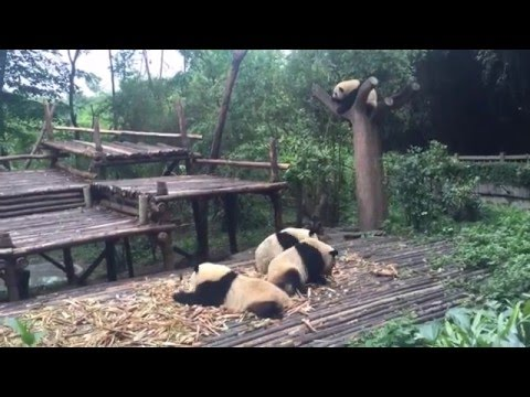 A Day in Chengdu // CHINA 2016