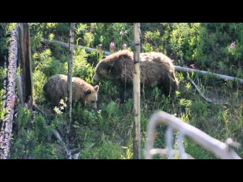 GRIZZLY BEAR AND CUB AT YELLOWSTONE